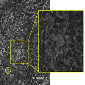 肝細胞はSynToxモデルで毛細胆管を形成する。